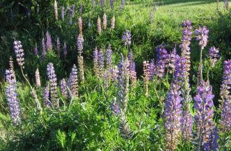 Łubin (Midsommarblomma) - w Szwecji kwiatowy symbol letniego przesilenia, czyli świętowanych dni Midsommarafton oraz Midsommardagen